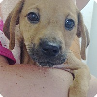 Adopt A Pet :: DOXIE TAN GIRL PUP - Pompton Lakes, NJ