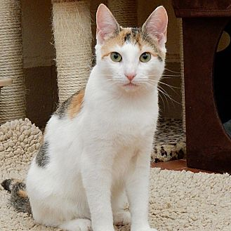 Calico Cat for adoption in Long Beach, New York - Elle