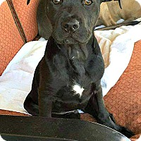 Adopt A Pet :: Oliver - Indianapolis, IN