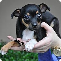 Adopt A Pet :: Phoebe - Atlanta, GA