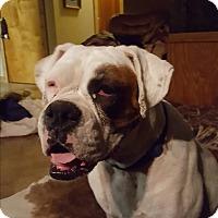 Adopt A Pet :: Ally Bear - Austin, TX