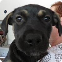 Adopt A Pet :: Sophia ~ Puppy! - St Petersburg, FL