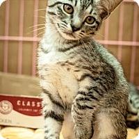Adopt A Pet :: Lace - Gainesville, FL