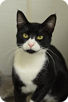 Domestic Shorthair Cat for adoption in Atlanta, Georgia - Mookie161105
