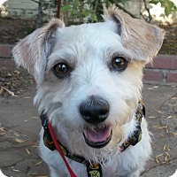 Jack Russell Terrier/Poodle (Miniature) Mix Dog for adoption in West Los Angeles, California - Jones