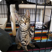 Adopt A Pet :: Brienne of Tarth - Chicago, IL