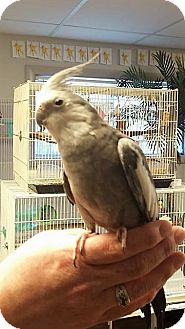 Cockatiel for adoption in Shawnee Mission, Kansas - Paquito