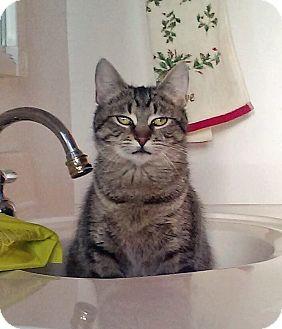 Domestic Shorthair Cat for adoption in Troy, Michigan - Tabitha