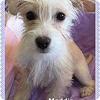 Adopt A Pet :: Maddie - Spartanburg, SC