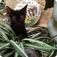 Sphynx Kitten for adoption in Sarasota, Florida - Pippin