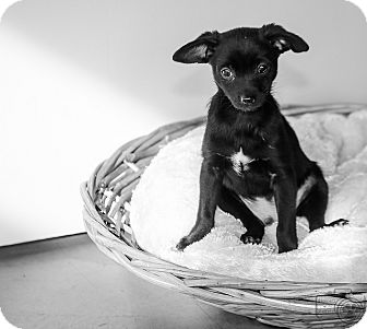 Chihuahua/Terrier (Unknown Type, Small) Mix Puppy for adoption in Denver, Colorado - Liam