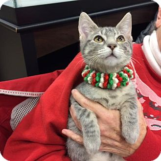 Domestic Mediumhair Kitten for adoption in Wilmore, Kentucky - Susie