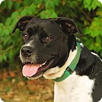 Pit Bull Terrier Mix Dog for adoption in Cincinnati, Ohio - Mandy $14