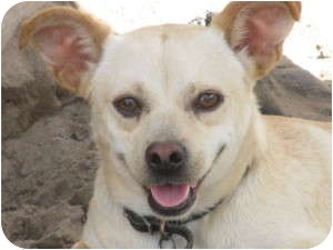 Chihuahua Mix Dog for adoption in Leming, Texas - Ringo
