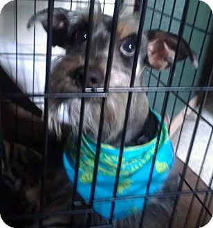 Schnauzer (Miniature)/Dachshund Mix Dog for adoption in Phoenix, Arizona - Benjamin - NON SHED!