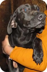 Labrador Retriever/Hound (Unknown Type) Mix Dog for adoption in Chicago, Illinois - Abbott (ADOPTED!)
