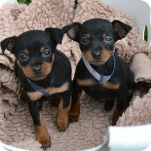 Miniature Pinscher Mix Puppy for adoption in Athens, Georgia - Laverne and Shirley