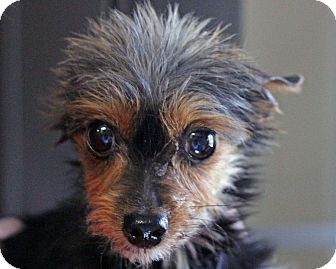 Yorkie, Yorkshire Terrier Dog for adoption in South Amboy, New Jersey - Wolfie - adoption pending