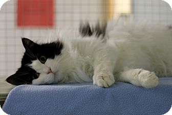 Domestic Longhair Cat for adoption in Mission, British Columbia - Patches
