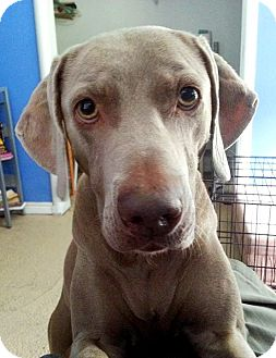 Weimaraner Mix Dog for adoption in Houston, Texas - Jade