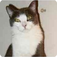 Domestic Shorthair Cat for adoption in Pasadena, California - Mallory