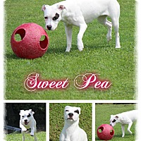 Adopt A Pet :: Sweet Pea - Tampa, FL