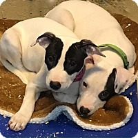 Adopt A Pet :: Our Gang Pups girl boy left - Pompton Lakes, NJ