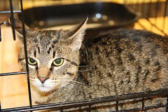 Domestic Shorthair Cat for adoption in Rochester, Minnesota - Alvin