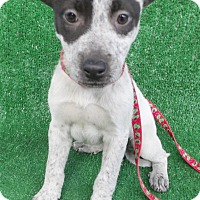 Adopt A Pet :: Kahlua - San Diego, CA