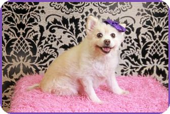 Pomeranian Dog for adoption in Dallas, Texas - Shasta