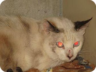 Domestic Shorthair Cat for adoption in Wildomar, California - Jessie