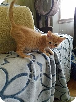 Domestic Shorthair Kitten for adoption in El Cajon, California - Lionel