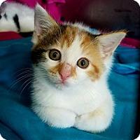 Domestic Mediumhair Kitten for adoption in Akron, Ohio - Harpo Kitten