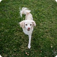 Adopt A Pet :: Blondie - Henderson, NV