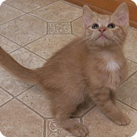 Domestic Shorthair Kitten for adoption in Bedford, Virginia - Sidekick