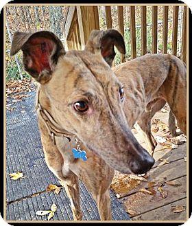 Greyhound Dog for adoption in Geneva, Ohio - Paulie