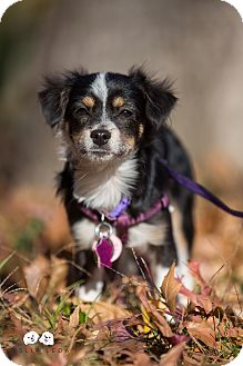 Papillon/Chihuahua Mix Puppy for adoption in Verona, New Jersey - Peanut: Adoption Pending
