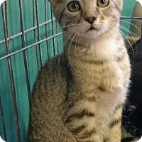 Adopt A Pet :: Simba - Seminole, FL