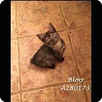 Adopt A Pet :: BLOO - Conroe, TX
