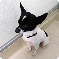 Chihuahua/Jack Russell Terrier Mix Dog for adoption in Sauk Rapids, Minnesota - Bindy
