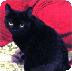 Domestic Shorthair Cat for adoption in Toronto, Ontario - Kirby