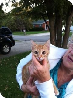 Domestic Mediumhair Cat for adoption in Germantown, Maryland - Sunshine