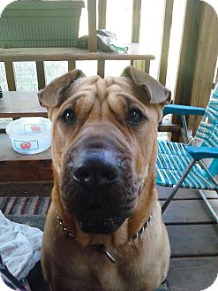 Shar Pei Mix Puppy for adoption in Mira Loma, California - Buttercup in Florida