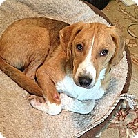Adopt A Pet :: Doc($300) In New England - Brattleboro, VT