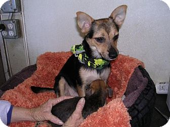 Chihuahua/Terrier (Unknown Type, Medium) Mix Dog for adoption in Yucaipa, California - Marsha