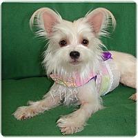 Adopt A Pet :: Tinker Belle - Palm City, FL