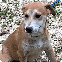 Adopt A Pet :: Lacey - sweet & smart - Stamford, CT