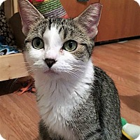 Domestic Shorthair Cat for adoption in Bruce Township, Michigan - Mamma Blanch-CP
