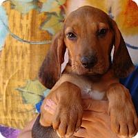 Adopt A Pet :: Pip - Oviedo, FL