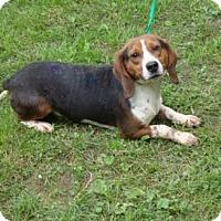 Adopt A Pet :: Tango - Dumfries, VA